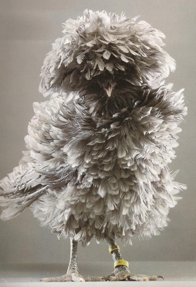 grey-featherhead-6